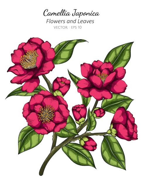 Camellia japonica rosa flor e folha desenho ilustração com linha artística em branco Vetor Premium