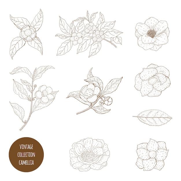 Camellia sinensis flores e galho. perfumaria, cosmética e planta médica. vintage mão ilustrações desenhadas. Vetor Premium