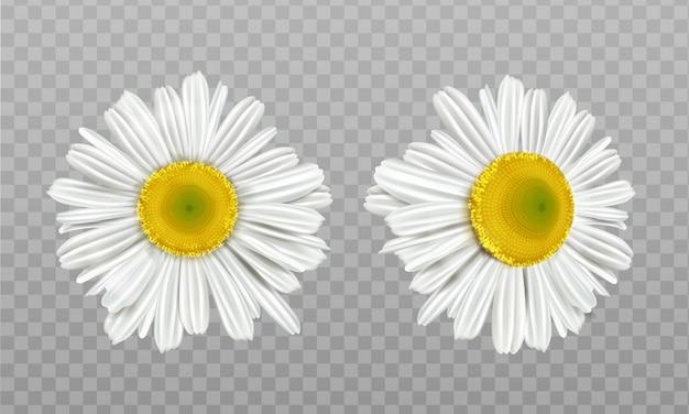 Camomila primavera realista, margarida flores Vetor grátis