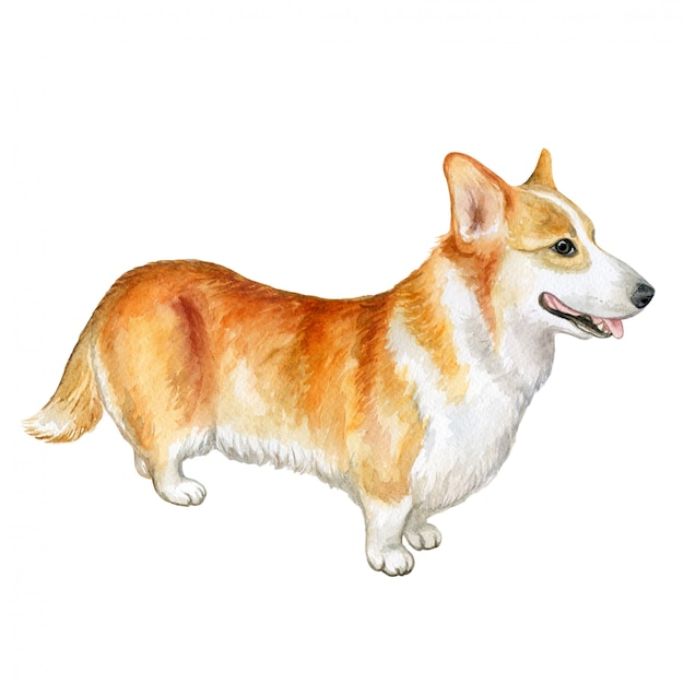 Cão de pembroke welsh corgi. aguarela Vetor Premium