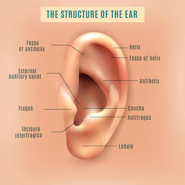 Cartaz de fundo médico de estrutura de orelha humana Vetor grátis