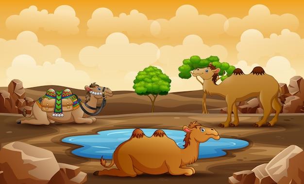 Cena com três camelos relaxantes no deserto Vetor Premium