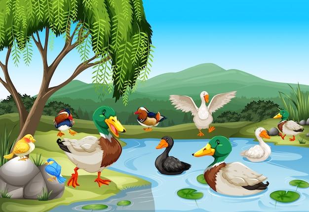 Cena do parque com muitos patos e aves Vetor grátis