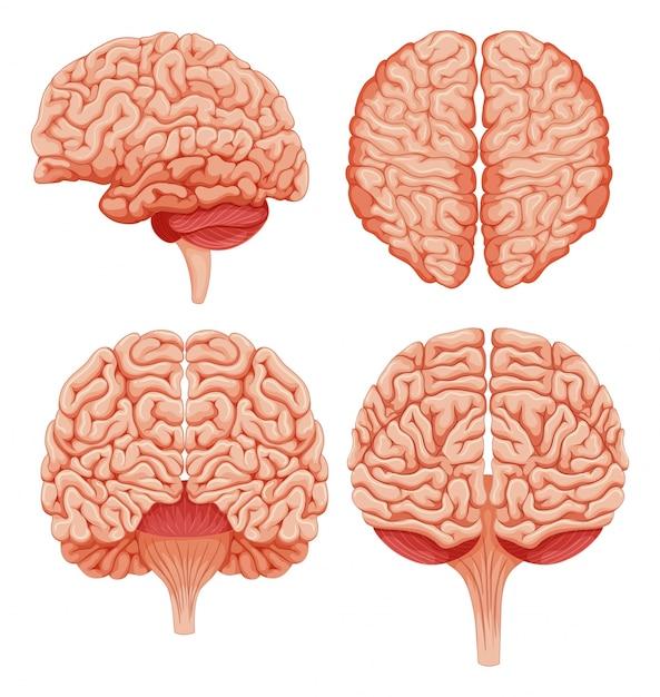 Cérebro humano na ilustração do fundo branco Vetor Premium