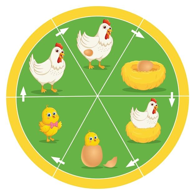 Ciclo de vida de frango Vetor Premium