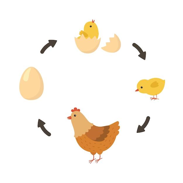 Ciclo de vida do frango Vetor Premium