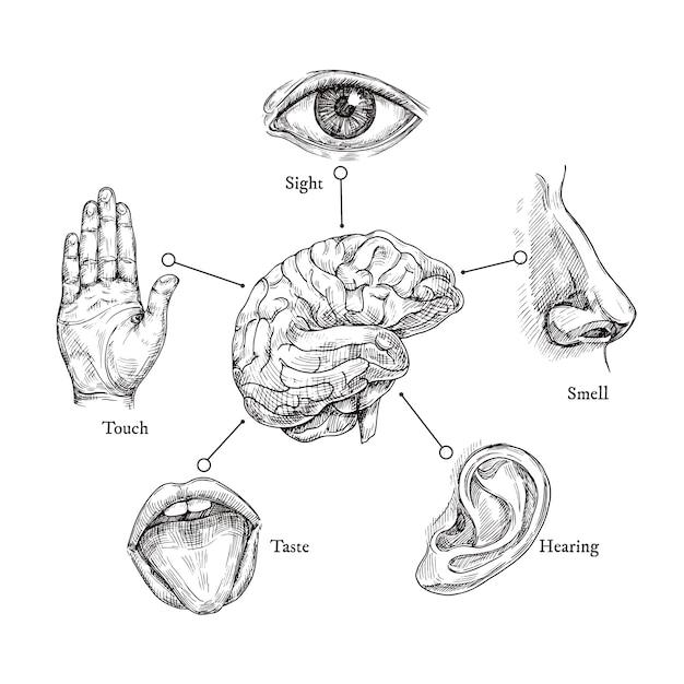 Cinco sentidos humanos. esboce a boca e os olhos, nariz e ouvido, mão e cérebro. doodle conjunto de parte do corpo Vetor Premium