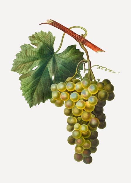 Cluster de uva verde Vetor grátis