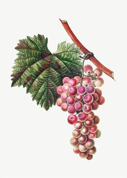Cluster de uva Vetor grátis