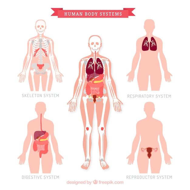 Coleção sistem corpo humano Vetor grátis