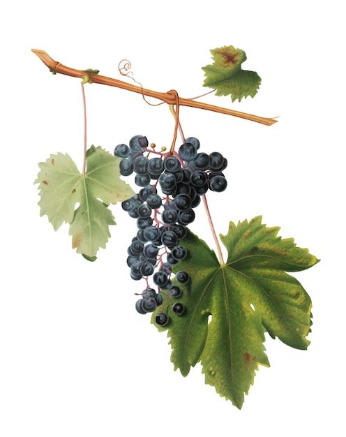 Colorina de uva da ilustração de pomona italiana Vetor grátis