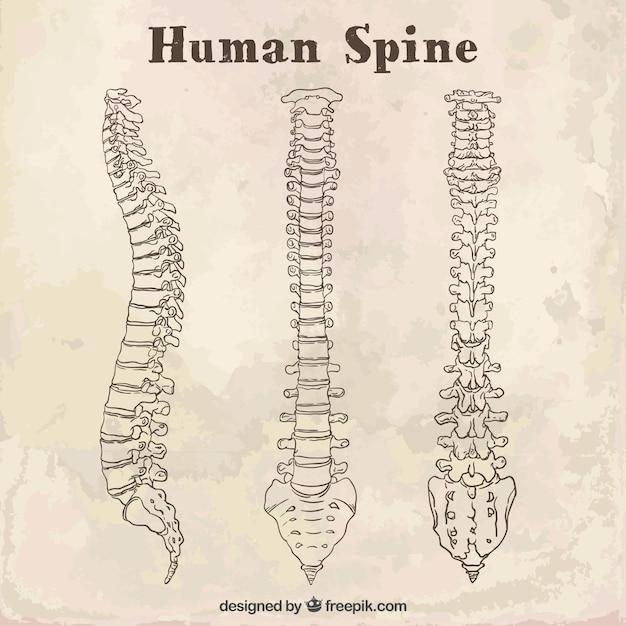 Coluna vertebral humana sketches Vetor grátis