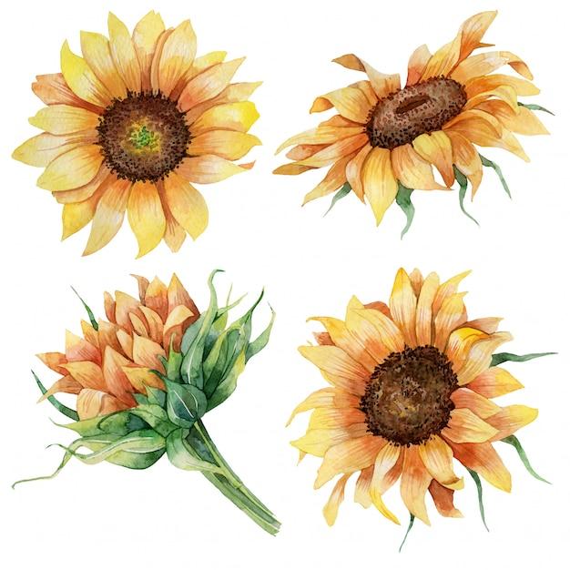 Conjunto botânico em aquarela de girassóis Vetor Premium