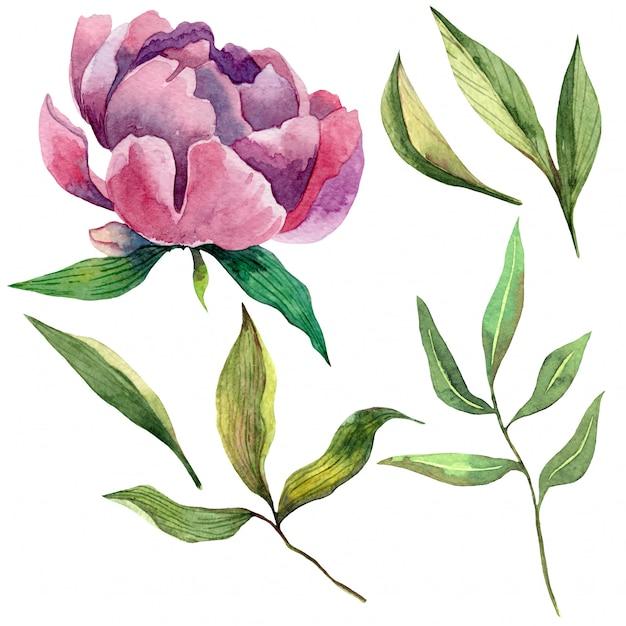 Conjunto de aquarela mão desenhada de peônia roxa e folhas verdes Vetor Premium