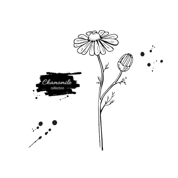 Conjunto de desenho vetorial de camomila. flor selvagem da margarida Vetor Premium