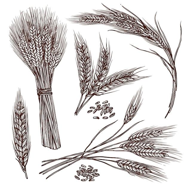 Conjunto de esboço de trigo Vetor grátis