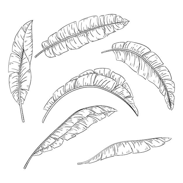 Conjunto de folhas de palmeira tropical, coleção de folha de bananeira selva Vetor Premium