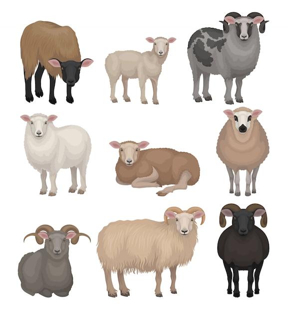Conjunto de giros ovelhas e carneiros. animais de fazenda com pelagem lanosa e chifres curvos. criatura doméstica. pecuária Vetor Premium