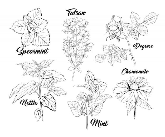 Conjunto de gravura monocromática de ervas chá. Vetor grátis