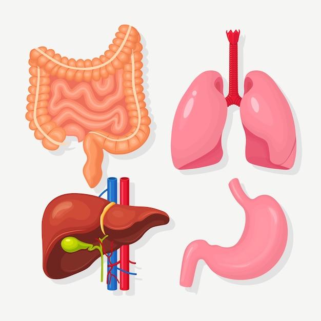 Conjunto de intestinos, vísceras, estômago, fígado, pulmões trato digestivo gastrointestinal, sistema respiratório Vetor Premium