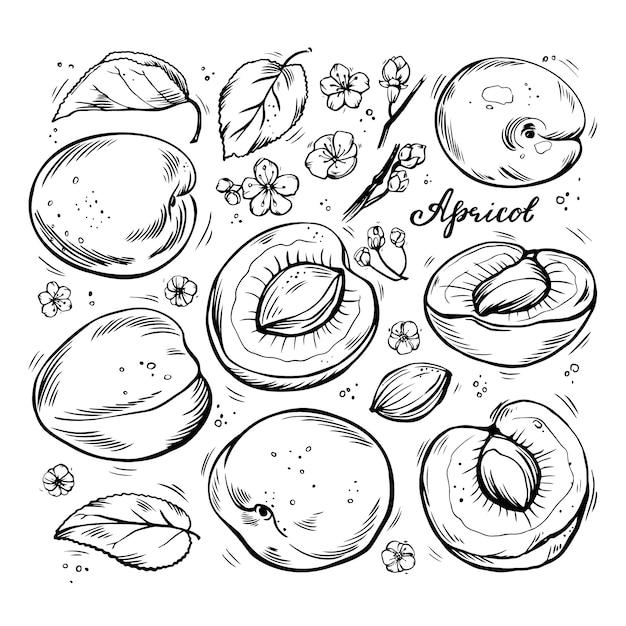 Conjunto de mão desenhada de damascos em um fundo branco e isolado. Vetor Premium