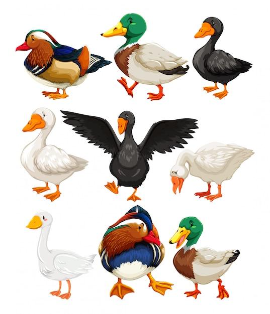 Conjunto de personagem de pato Vetor grátis