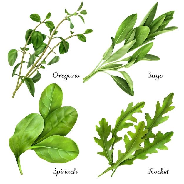 Conjunto de realistas ervas e especiarias plantas frescas rúcula de espinafre sálvia orégano Vetor grátis