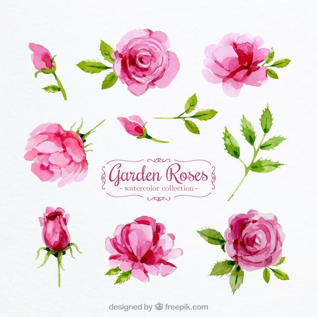 Conjunto de rosas aquarela Vetor grátis