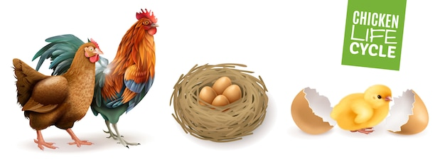 Conjunto horizontal realista de ciclo de vida da galinha com ovos férteis de galo de galinha e pintinho recém-nascido Vetor grátis