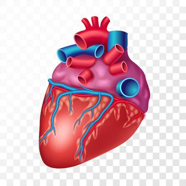 Coração humano realista, em fundo transparente. órgão interno da ilustração realista do sistema cardiovascular Vetor Premium