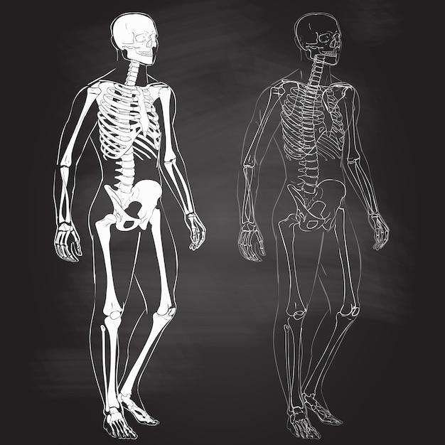 Corpo humano e esqueleto Vetor Premium