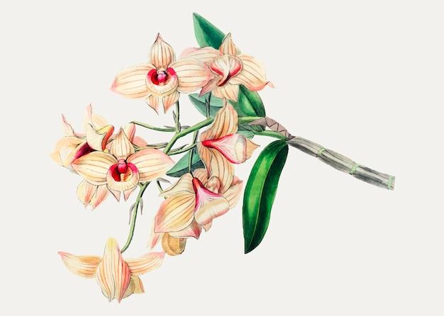 Dendrobium moschatum Vetor grátis