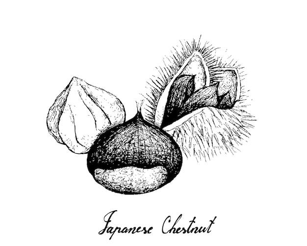 Desenhado à mão de castanhas japonesas em fundo branco Vetor Premium