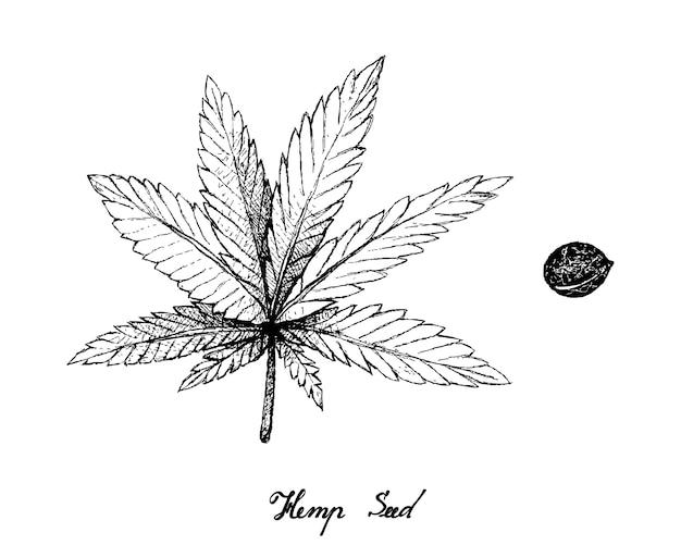 Desenhado à mão de folhas e sementes de cânhamo Vetor Premium