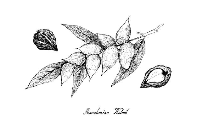 Desenhado à mão de noz da manchúria na árvore Vetor Premium