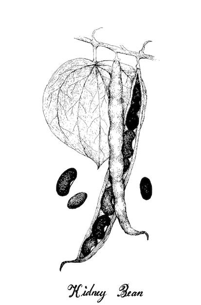 Desenhado à mão de vagens de feijão em uma planta Vetor Premium