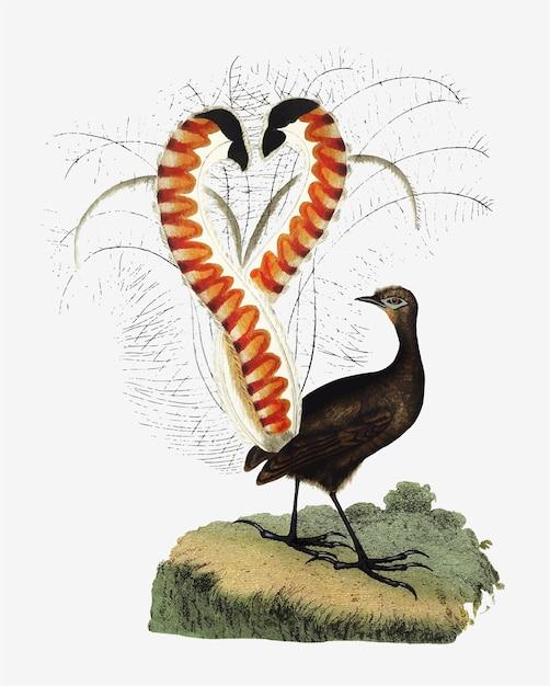 Desenho animal de lyrebird Vetor grátis