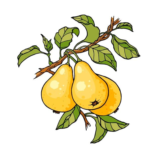 Desenho de cor de ramo de árvore de pera gravura Vetor Premium
