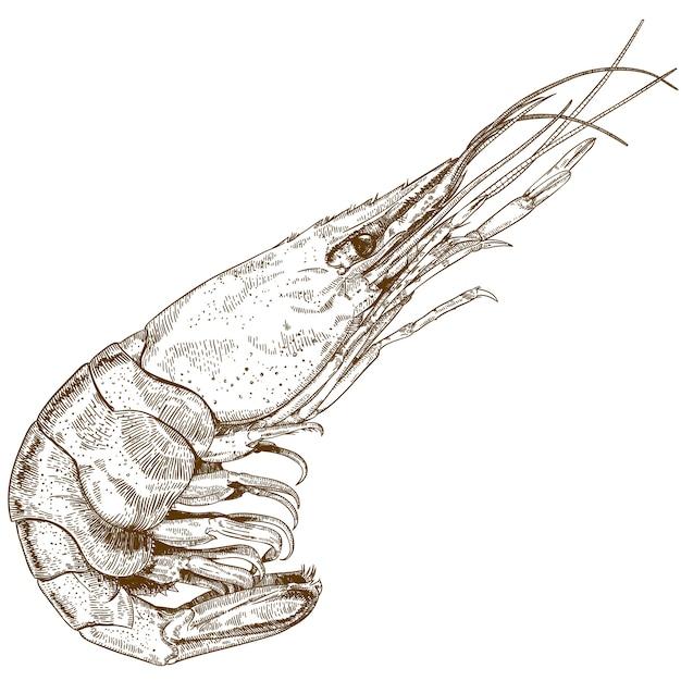 Desenho de gravura de camarão Vetor Premium