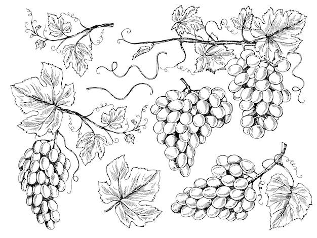 Desenho de uva. fotos florais uvas para vinho com folhas e gavinhas vinha gravura mão ilustrações desenhadas Vetor Premium