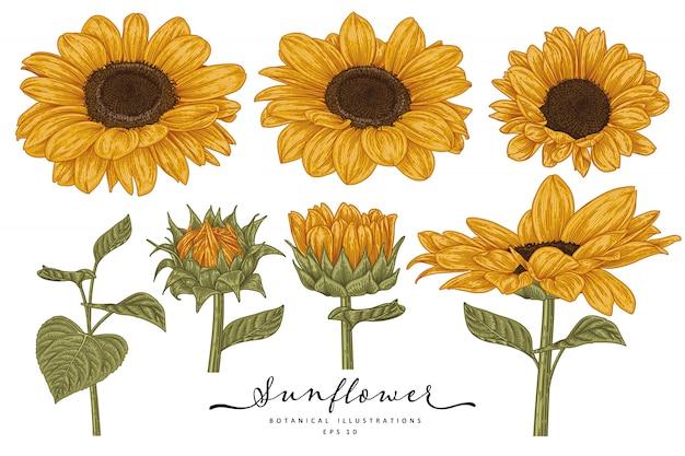 Desenho floral conjunto decorativo. desenhos de girassol. linha arte altamente detalhada, isolada no fundo branco. ilustrações botânicas de mão desenhada. elementos Vetor Premium