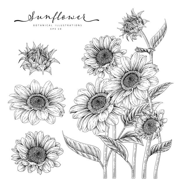 Desenho floral conjunto decorativo. desenhos de girassol. preto e branco com linha arte isolada no fundo branco. ilustrações botânicas de mão desenhada. elementos Vetor Premium