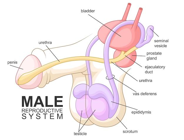 Desenhos animados do sistema reprodutor masculino Vetor Premium