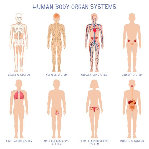 Desenhos animados sistemas de órgãos do corpo humano. sistemas de biologia anatômica, esqueleto, nervoso e reprodutivo Vetor Premium