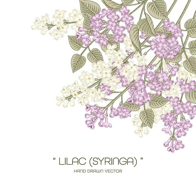 Desenhos de flores brancas e roxas de syringa vulgaris (lilás comum). Vetor Premium