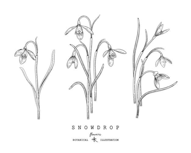 Desenhos de flores snowdrop. Vetor grátis