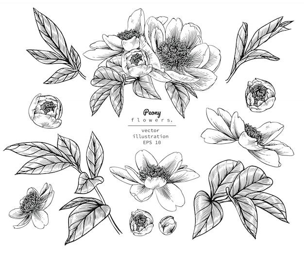 Desenhos de folha e flor de peônia Vetor Premium