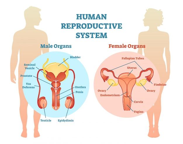 Diagrama da ilustração vetorial do sistema reprodutivo humano. Vetor Premium