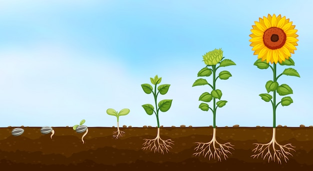 Diagrama das fases de crescimento das plantas Vetor grátis