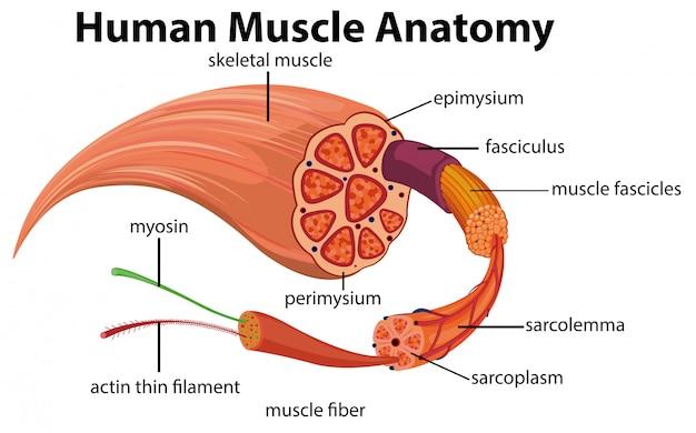 Diagrama de anatomia muscular humana Vetor Premium